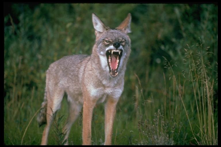 Coyote20485048